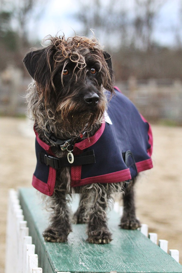 Roo Frank the dog in the Draper Canine Therapy Dog Coat.