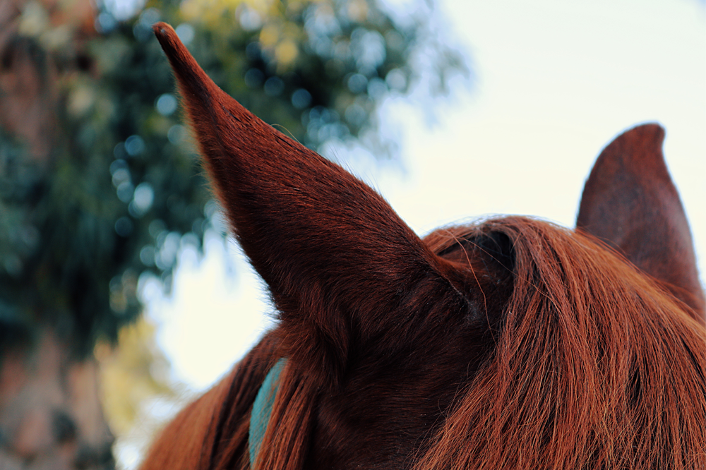 Horses often communicate comfort with their ears.